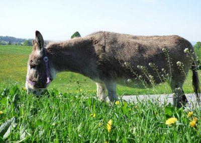 Polzgut-Bio-Rindfleisch-Esel